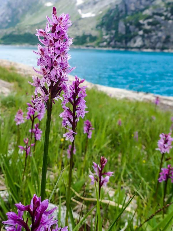 Dactylorhiza - marsh orchid